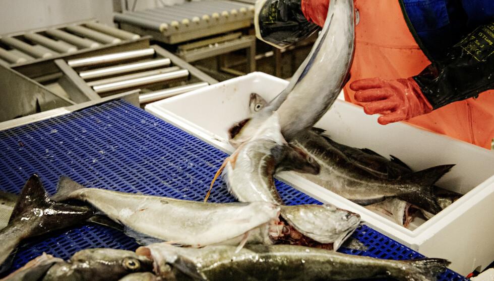 <strong>ULOVLIGE ARBEIDSFORHOLD:</strong> Arbeidstilsynet har avdekket grove brudd på arbeidsmiljøloven hos en rekke MSC-sertifiserte mottak. Som her på bildet Andenes fiskemottak AS. Foto: Nina Hansen/Dagbladet