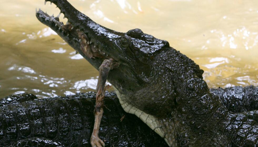KROKODILLEPROBLEM: Krokodillene til Elfenbenskystens avdøde president Félix Houphouët-Boigny skaper problemer. Noe av kimen til problemet er at lokalbefolkningen foret dem med levende kyllinger, på betaling fra turister, noe som gjorde at de vokste seg store og formerte seg. Denne krokodillen er ikke en av presidentens krokodiller, men holder like fullt til i Elfenbenskysten, 80 km øst for Abidjan. Foto: AFP PHOTO / KAMBOU SIA / NTB scanpix