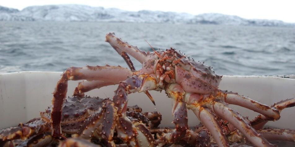 DØMT: Troms-mann er dømt for salg av sju tonn kongekrabbe til en verdi av minst 3,5 millioner kroner. Illustrasjonsfoto: Ingun A. Mæhlum/Dagbladet