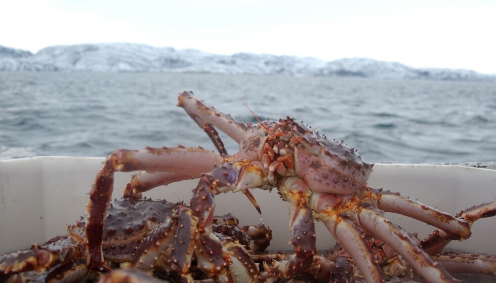 KONGEKRABBE: Norges Kystfiskarlag mener kontrollmyndighetene har sviktet i kontrollen med ulovlig fangst av kongekrabbe. Foto: Ingun A. Mæhlum/Dagbladet