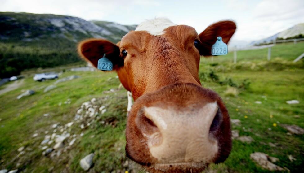 FRISKE GENER: Sæden fra norsk rødt fe er ettertraktet i Kina. Dråpene bidrar til friske dyr og mer melk. Foto: Stian Lysberg Solum / NTB scanpix
