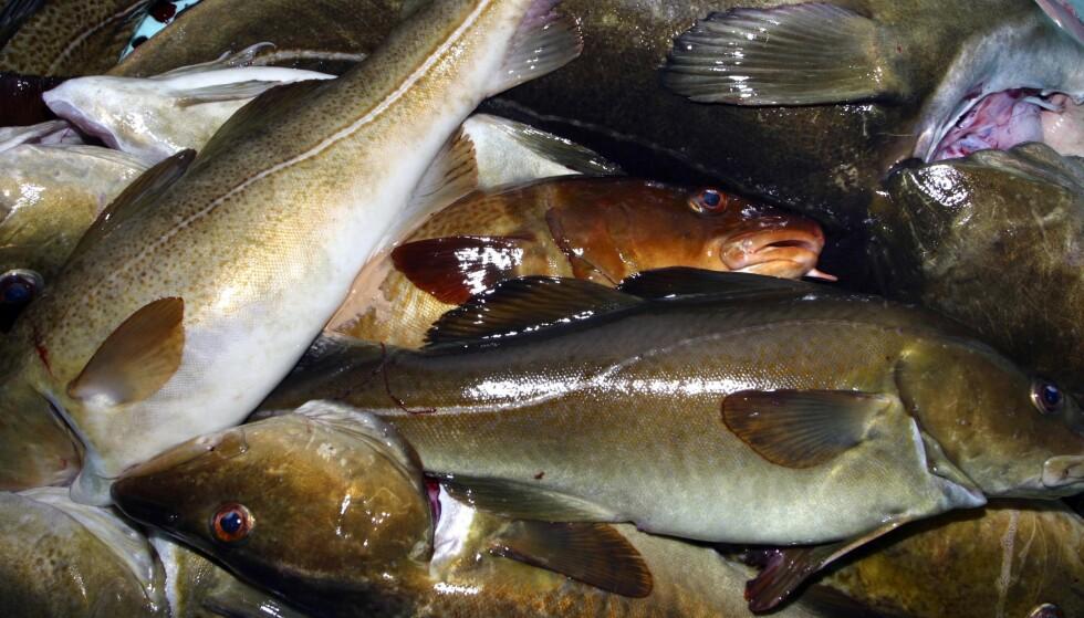 ANMELDT: Tre datterselskaper av Ervik Havfiske er av Fiskeridirektoratet anmeldt for brudd på deltakerloven. Illustrasjonsfoto: NTB Scanpix