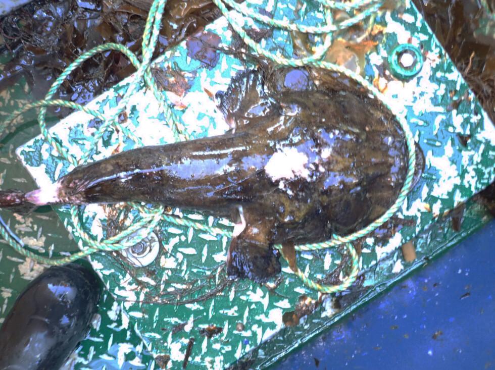 Levende breiflabb. De lyse flekkene er områder spist av krabbe eller hummer. Foto: Kystvakten