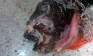 DØD LEPPEFISK: Leppefisk fanget i garn i Averøy kommune. Tydelig spist på av krabbe eller hummer. Foto: Kystvakten.