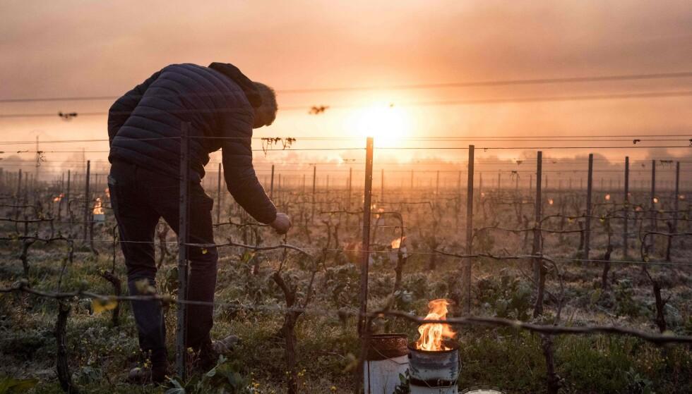 ØDELAGT: En bonde i Le Landeau sjekker vinstokkene sine. Han prøver å varme opp plantene med lys. Foto: Sebastien Salom-Gomis/ AFP/NTB.