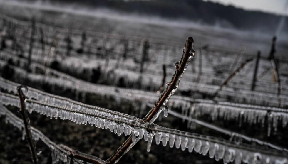 IS: Frosten rammet flere vinbønder hardt, da temperaturene gikk under null grader. Foto: Jeff Pachoud/ AFP/NTB.