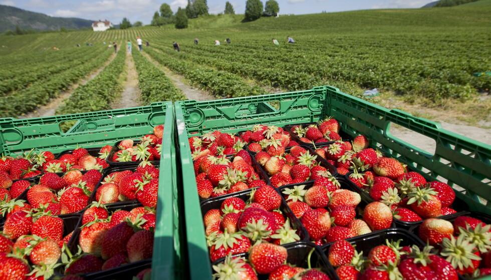 TRØBLETE: Vanskeligheter med å få inn arbeidskraft skaper store utfordringer for jordbærprodusentene. Foto: Gorm Kallestad / NTB