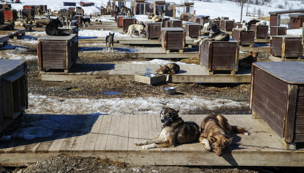 200 HUNDER: Troms Villmarkssenter måtte tenke nytt da pandemien kom. I dag har senteret igjen 200 alaskan husky. Foto: Henning Lillegård / Dagbladet