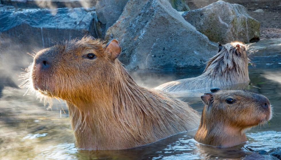 BADEDYR: Flodsvinene er verdens største nålevende gnager og lever kun i tilknytning til vann, ifølge SNL. Illustrasjonsfoto: Shutterstock / NTB