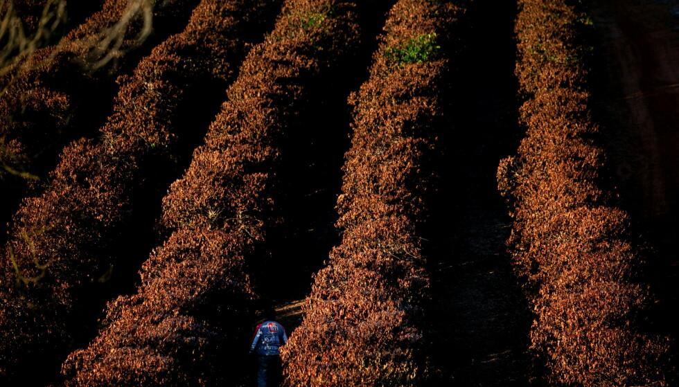 ØDELAGT: Store åkre med kaffeplanter ble rammet av kulden, som her i den brasilianske delstaten Minas Gerais, som er den delstaten som produserer mest kaffe. Foto: REUTERS / Roosevelt Cassio / NTB