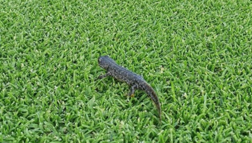 UTBYGGING: Denne lille salamanderen kan komme i veien for en stor utbygging. Foto: Privat