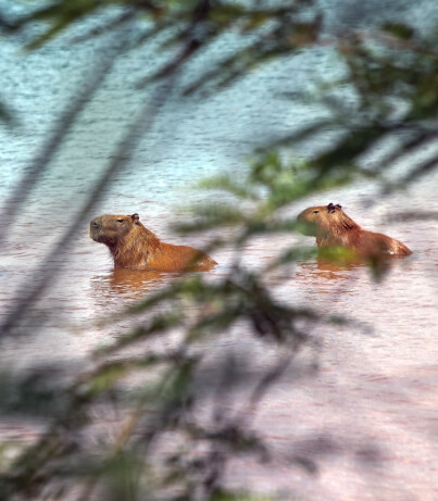Image: Riking-samfunn slår alarm etter flodsvin-invasjon